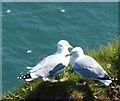 TA2571 : Herring gulls at Flamborough Head by Mat Fascione