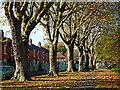 SO9197 : Plane trees in Graiseley Park, Wolverhampton by Roger  Kidd