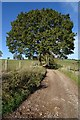 SO5311 : Oak tree beside Driffield's Lane by Philip Halling