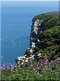 TA1974 : Nesting gannets at the Bempton Cliffs by Mat Fascione