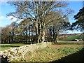 SD8162 : Thornber Plantation, at Hoyman Laithe by Christine Johnstone