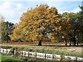 TQ1669 : Autumn tree, Bushy Park by Christine Johnstone