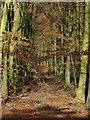 SK4949 : Autumn beechwoods by Alan Murray-Rust