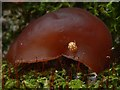 NS4573 : Orange Ladybird on Jelly Ear Fungus by Lairich Rig