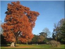 TQ1891 : Canons Park: Specimen tree by Nigel Cox