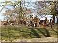 SE2868 : Sika Deer in Studley Park by Oliver Dixon