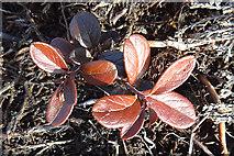NJ2033 : Dark Brown Leaves by Anne Burgess