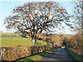 NY3834 : Tree protruding from hedge by Trevor Littlewood