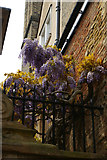 TL4458 : Wisteria peeping over the wall of Trinity College, on  Trinity Lane, Cambridge by Christopher Hilton