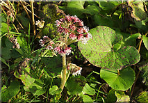 SX9066 : Winter Heliotrope, Nightingale Park by Derek Harper
