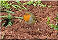 SX9065 : Robin in Torre by Derek Harper