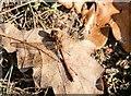 TL9392 : Sympetrium striolatum/ Common Darter by David Pashley