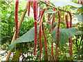 SX0455 : Eden Project - horseradish tree in the rainforest biome  by Stephen Craven