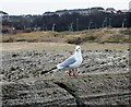 NZ3767 : Black Headed Gull at South Shields by Robert Graham