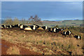 NT5332 : Belted Galloway Cattle at Bowdenmoor by Walter Baxter