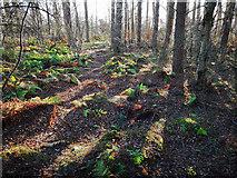 NH6454 : In Tullich Wood, Black Isle by Julian Paren