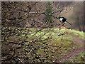 H4772 : A magpie lands on a tree, Campsie by Kenneth  Allen
