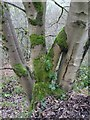 SO7643 : Beech tree trunk by Philip Halling