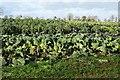 SO9941 : Varieties of brassica by Philip Halling