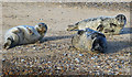 TF9845 : Grey Seal pups, Blakeney Point by Hugh Venables