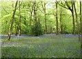 SU7782 : Bluebells in Remenham Wood by Simon Mortimer