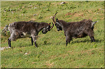 SS7049 : Feral goats, Valley of Rocks by Ian Capper
