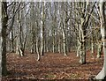 NT8743 : Beeches by James T M Towill