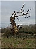 SO7843 : Dead oak tree by Philip Halling