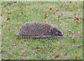 TM5393 : Hedgehog in a hurry by Adrian S Pye