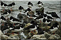 NZ5528 : A lone Redshank amongst a flock of sleeping Oystercatchers by Mick Garratt
