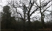 TQ4394 : Woods by Roding Lane, Chigwell by David Howard