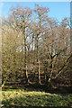 SX7867 : Alders at Wayesford by Derek Harper