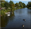 SK6929 : Swans and geese at the Hickling Basin by Mat Fascione