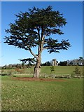 SO8844 : Cedar trees in Croome Park by Philip Halling
