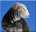NY3312 : A herdwick sheep at Reggie Knott by Walter Baxter