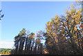 TL7996 : Conifers in Winter sun by David Pashley