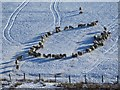 NS8562 : Sheep in formation, Easter Fortissat by Alan O'Dowd