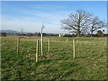 SO8844 : Young trees in Croome Park by Philip Halling