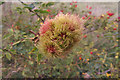 SY9788 : Robin's Pincushion (Bedeguar Gall) by Phil Champion