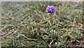 SY8180 : Devil's-bit Scabious (Succisa pratensis) on Hambury Tout, Dorset by Phil Champion