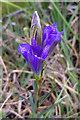 SZ0183 : Marsh Gentian (Gentiana pneumonanthe) on Godlingston Heath by Phil Champion