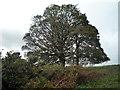 SO4566 : Tree at Bircher Common by Fabian Musto