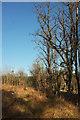 SX8684 : Line of trees, Haldon Forest by Derek Harper