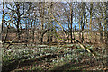 NJ6862 : Woods with Snowdrops by Anne Burgess