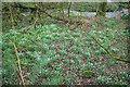 SW9770 : Snowdrops by the Polmorla Brook by Derek Harper