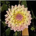 SP0485 : Dahlia, Birmingham Botanical Gardens by Rudi Winter