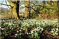 SJ2738 : Snowdrop Season at Chirk Castle by Jeff Buck