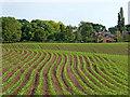 SJ6541 : Maize field near Cox Bank in Cheshire by Roger  Kidd