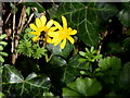 H5354 : Insect on Lesser celandine, Clare More by Kenneth  Allen