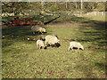 TQ5344 : Sheep and lambs at Penshurst Place by Marathon